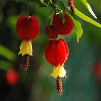 Абутилон мегапотамский (Abutilon megapotamicum)