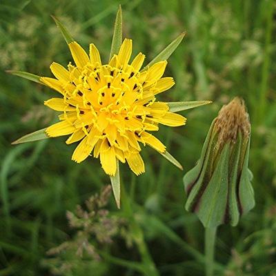 Козлобородник луговой (Tragopogon pratensis)