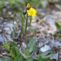 Ястребинка волосистая (Hieracium pilosella)